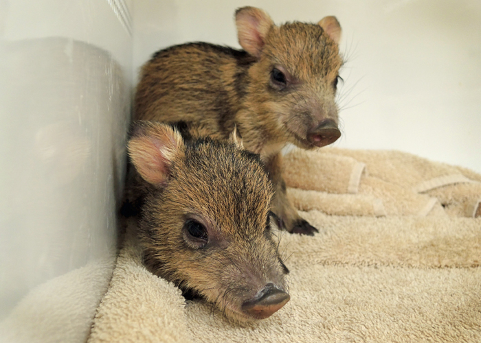 Orphaned Javelina Arrive