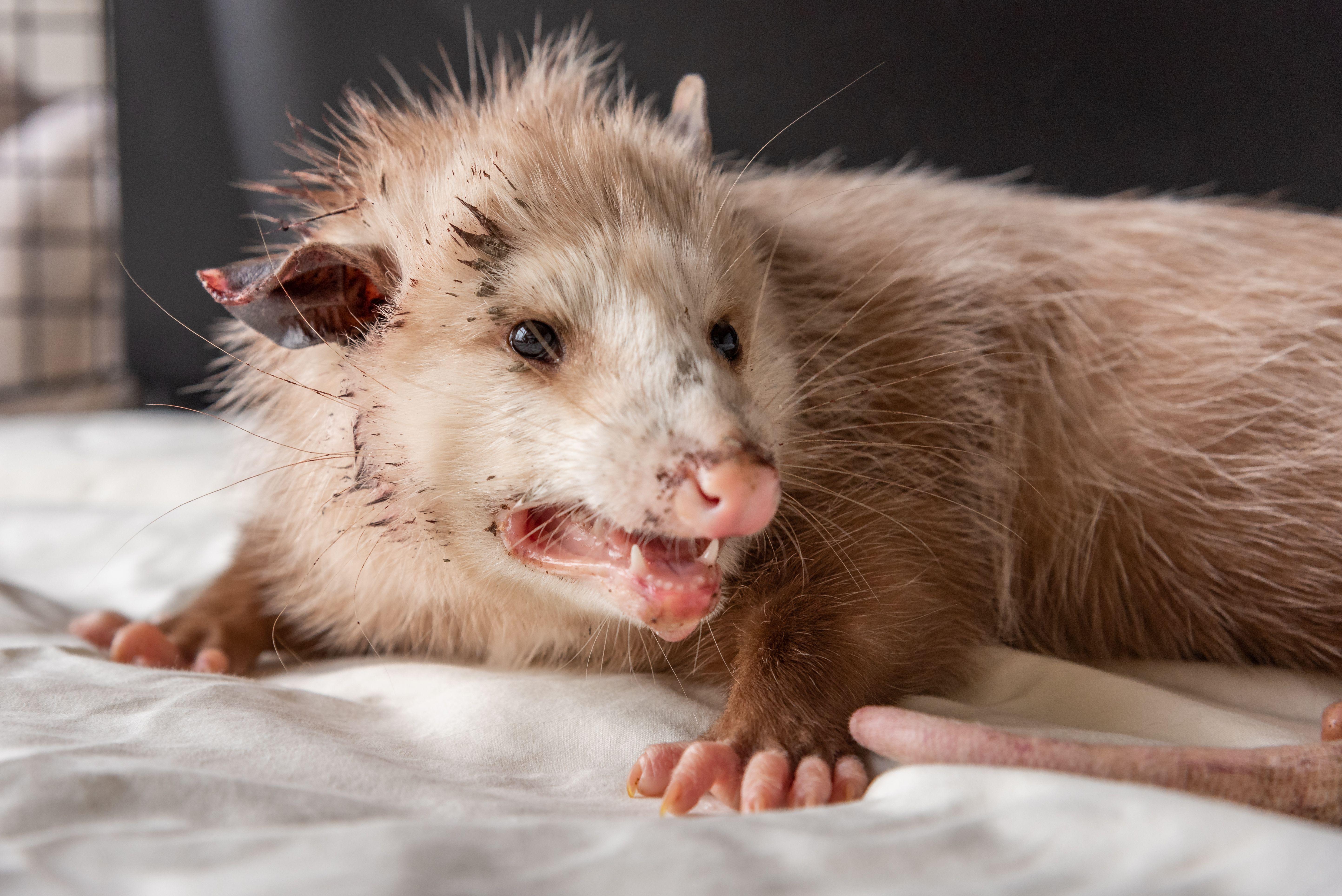 Abused Opossum Recovering at NWRI