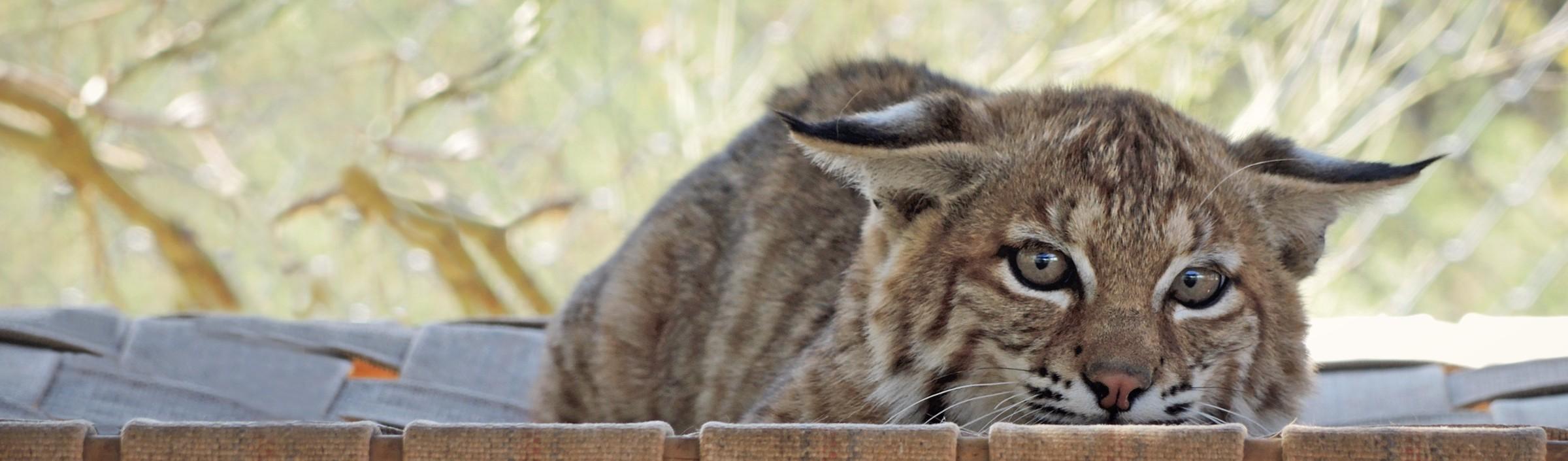 Wildlife as pets advice Southwest Wildlife rehabilitation sanctuary
