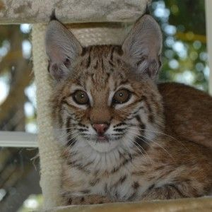 Meet Max the Bobcat