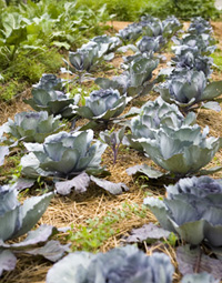 Niles Garden cabbages