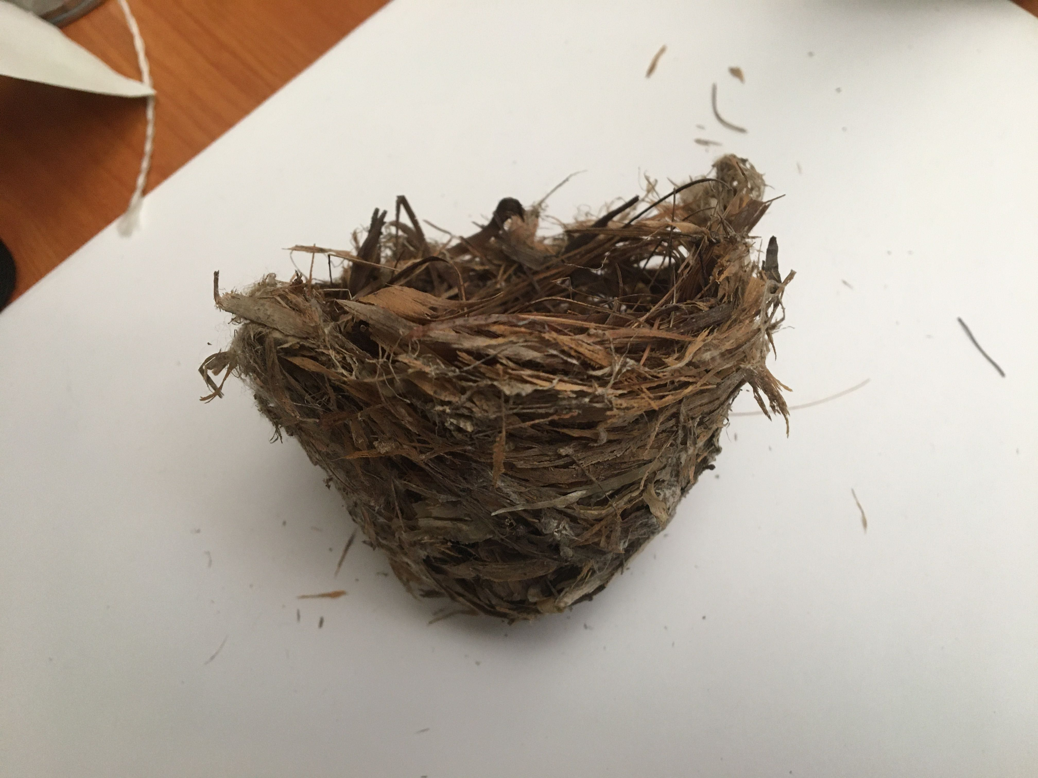 Red-eyed Vireo Nest (real)