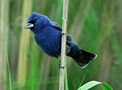 Beak of the Week: Blue Grosbeak