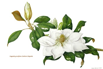 Sweet Bay Magnolia Painting