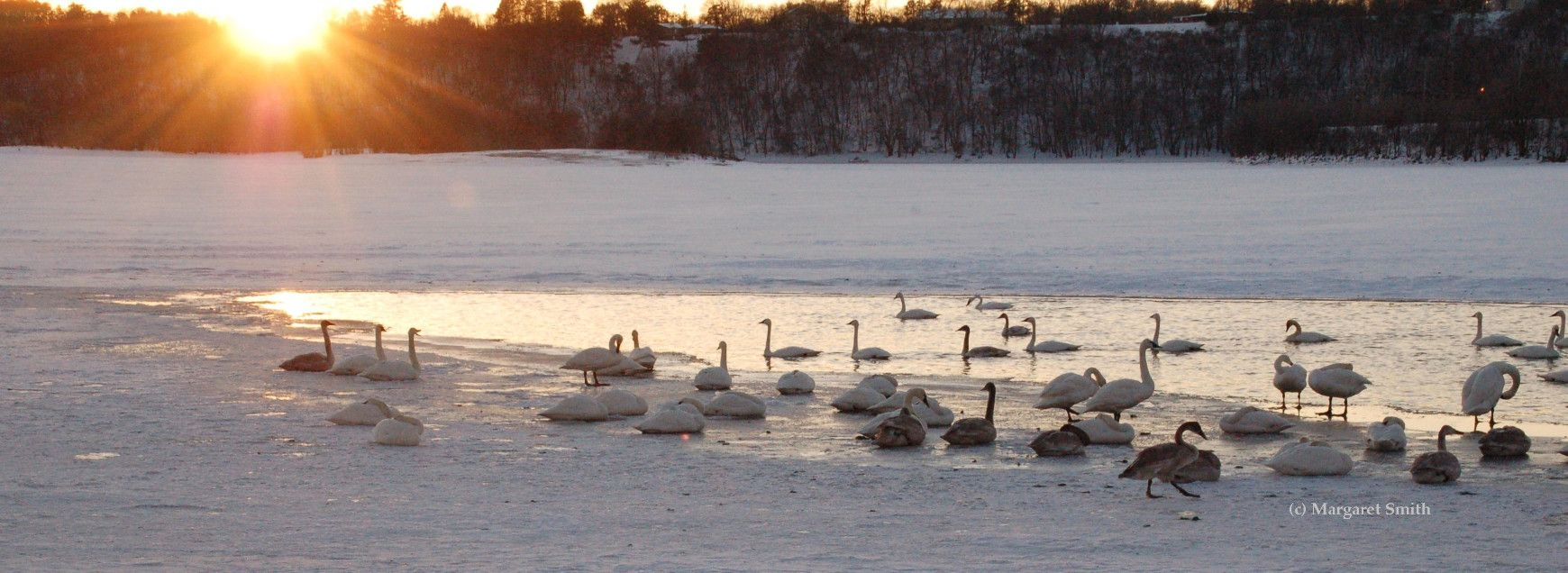 2019 The Trumpeter Swan Society News and Notes Archive_ swans on river at sunset, Margaret Smith photo