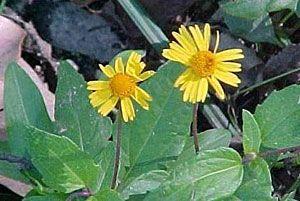 Creeping Spot-flower