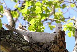 Ringed Turtle-Dove