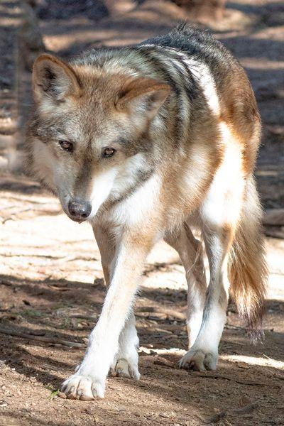 F886 Corazon Mexican Gray Wolf Southwest Wildlife Scottsdale Arizona Photo by Carol A. Urban