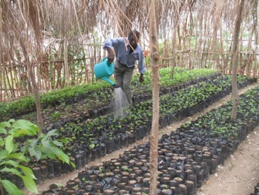 Tree nursery participant waters tree seedlings. Each of the 8 tree nurseries in the Medor area has at least 50 participants.