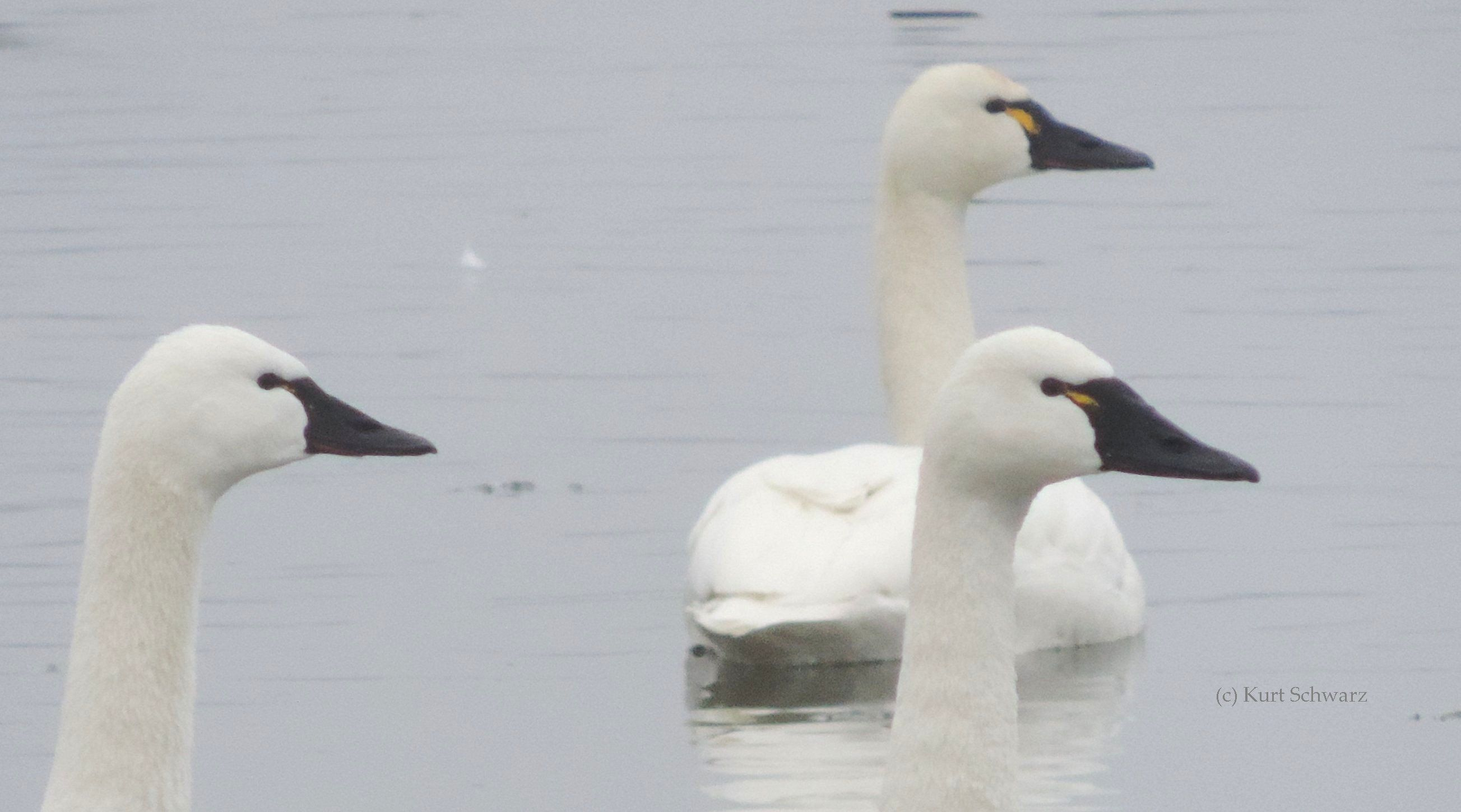 Above: Tundra Swans with yellow markings