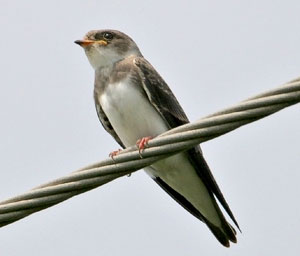 Beak of the Week: Bank Swallow