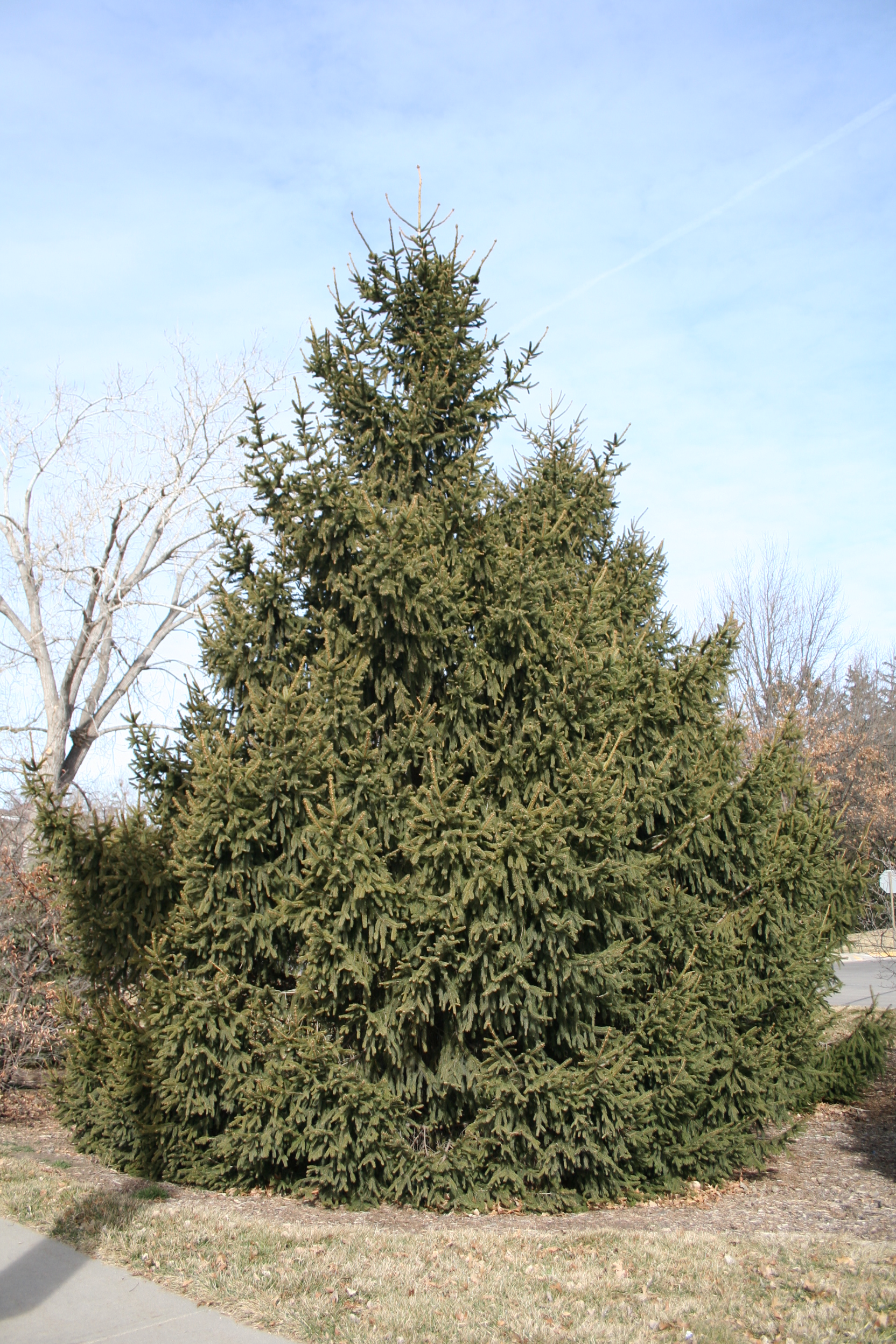 Norway spruce, Picea abies