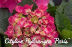 "Cityline Hydrangea ""Paris"""