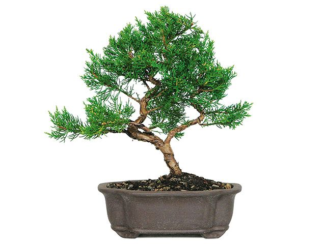 Learn about our Bonsai Membership