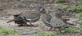 Mourning Dove and White-winged Doves