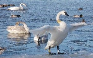 Wisconsin's story of the return of the Trumpeter Swan