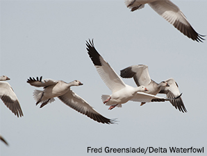 Attention Goose Hunters