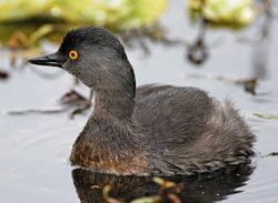 Least Grebe (breeding plumage)