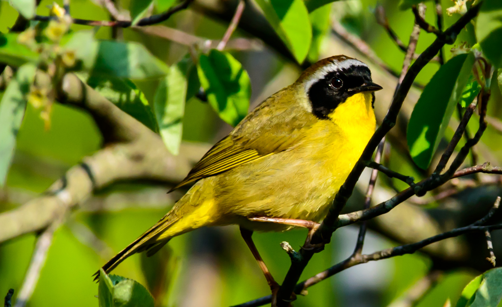 Free May Birding Walks with Audubon Society of Rhode Island Spring Bird migration New England Bird Walks May 2019 Things to Do RI