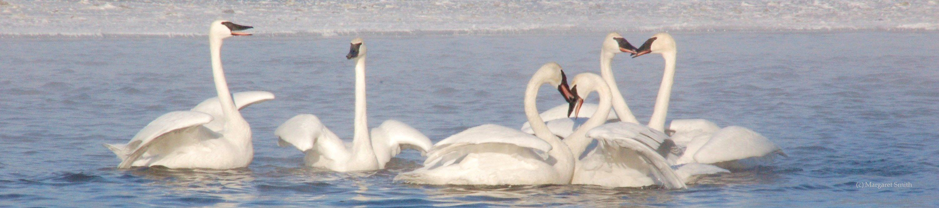Your donation to The Trumpeter Swan Society, large or small, will help trumpeter swans