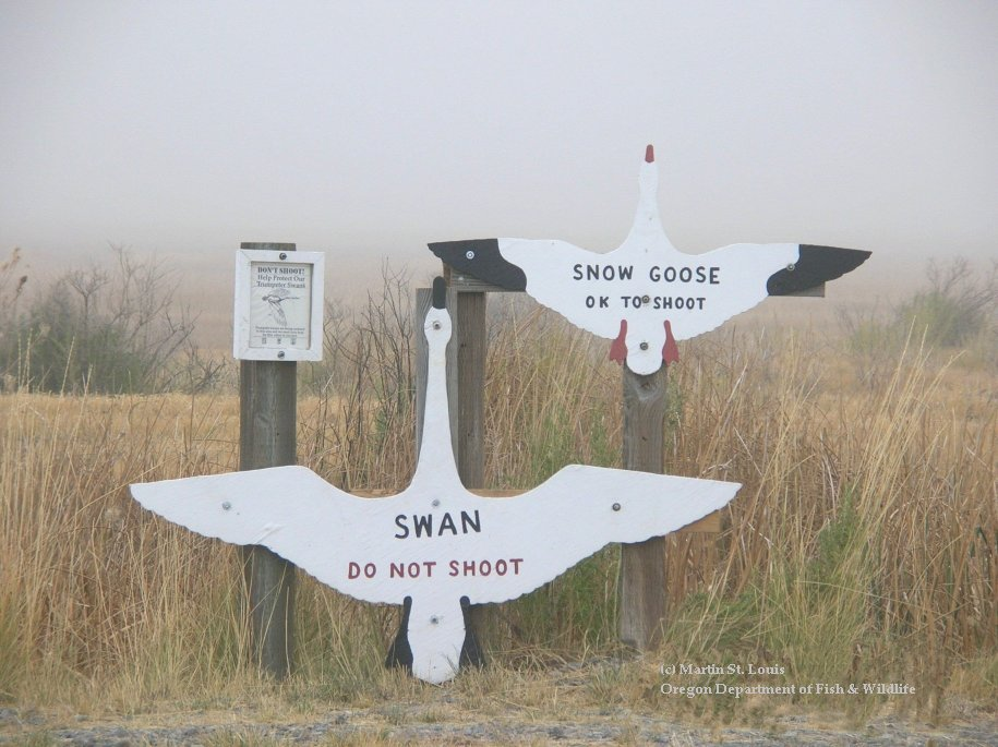 See the size and color differences between swans and snow geese