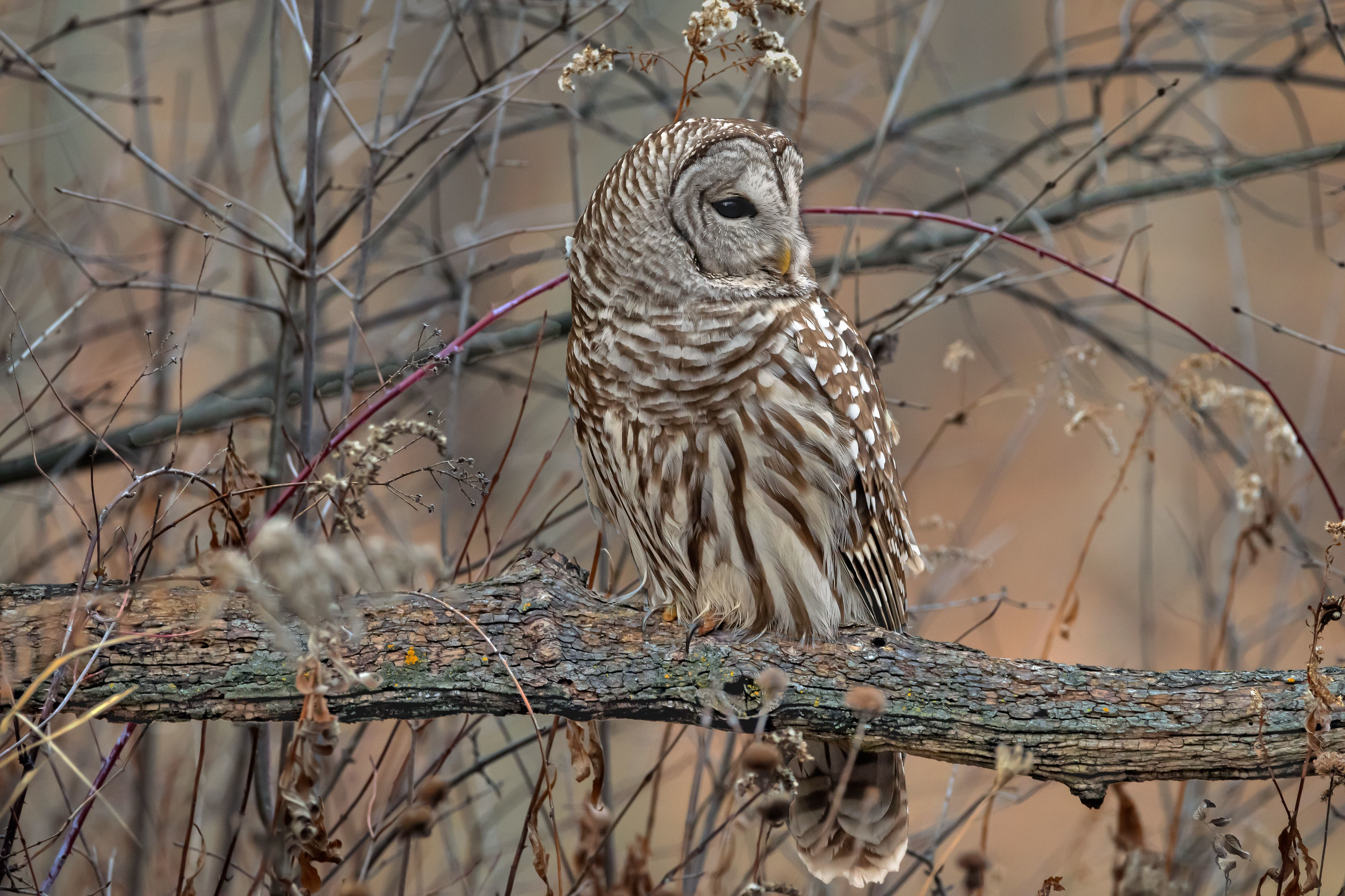 """1st Place, Photograph of the Year, """"Sunset Barred Owl"""" - Ronald Floyd"""