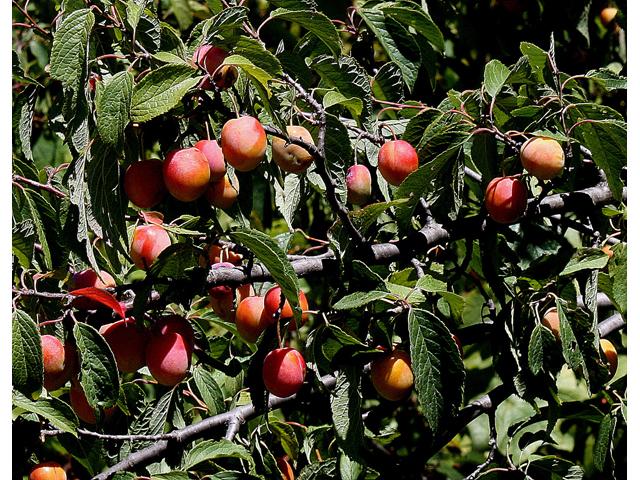 """American Plum - Pack of 25 Seedlings (6""""-12"""")"""