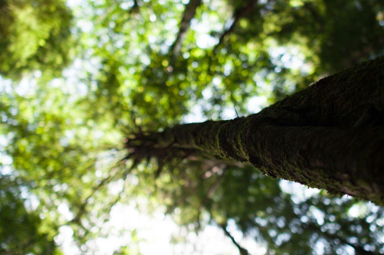 Rainbird 1, Moss Covered Tree