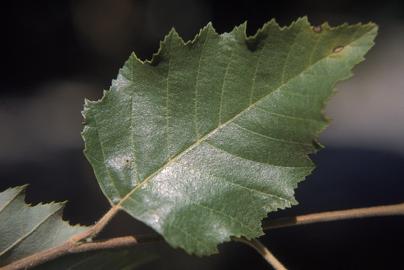 "River Birch - Pack of 100 Seedlings (6""-12"")"