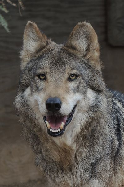 M1124 Sancho Mexican Gray Wolf Southwest Wildlife Scottsdale Arizona