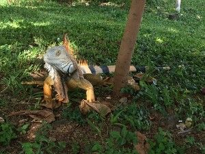 Giant Iguana in Costa Rica