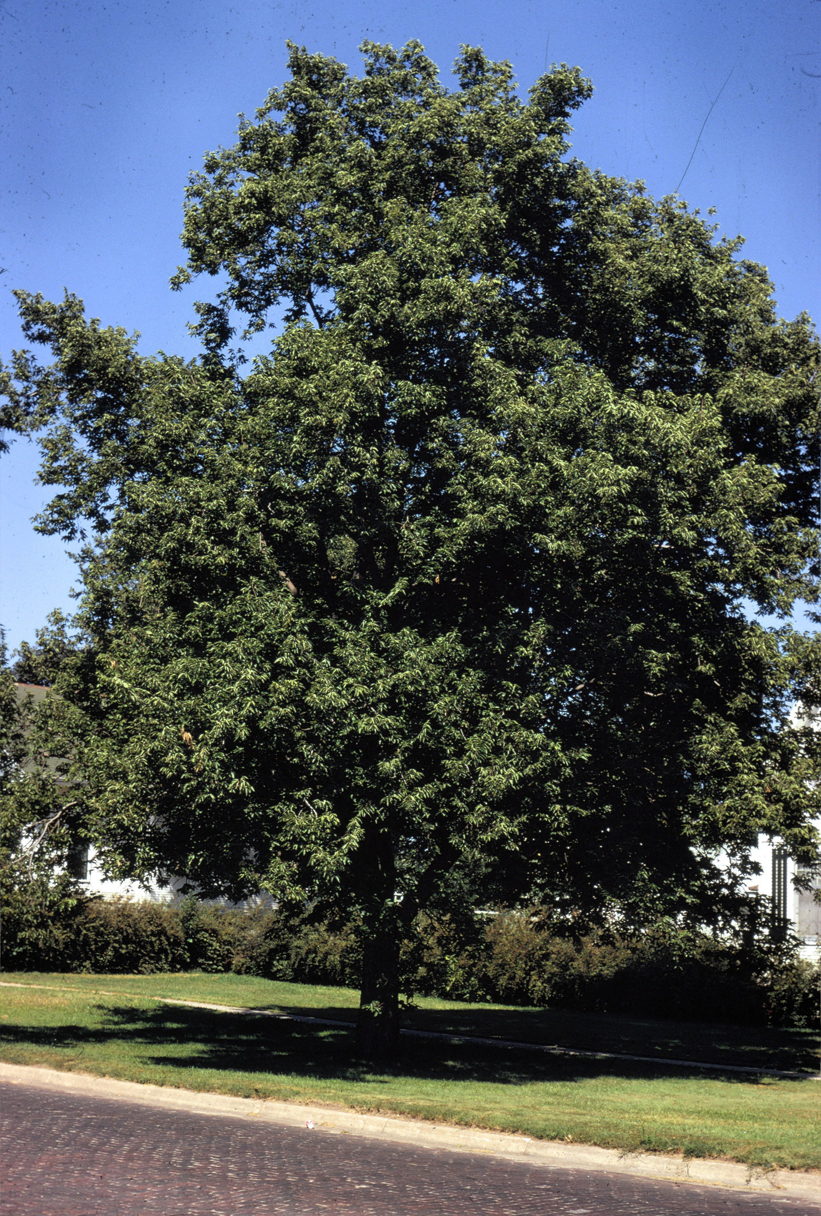 Hackberry, Celtis occidentalis