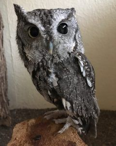 Percy the Eastern Screech-Owl