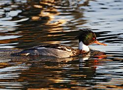 Beak of the Week: Red-breasted Merganser