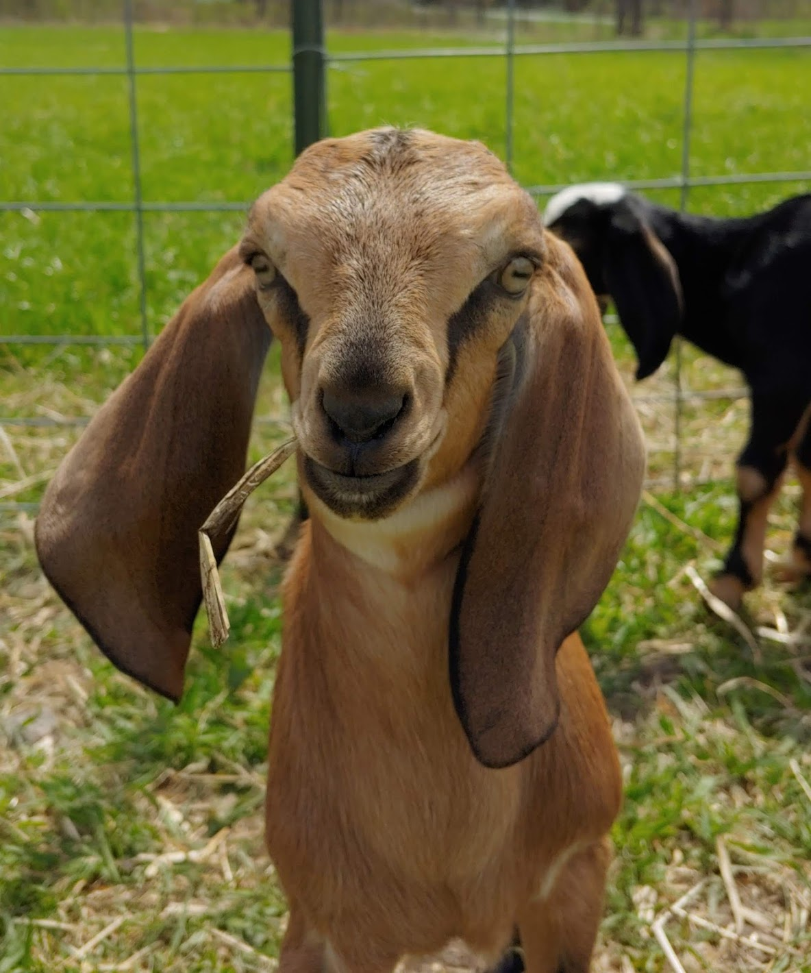 We Have Adorable Goats!