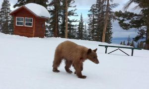 heavenly_bear_at_ski_resort