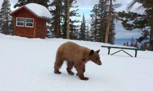 heavenly_bear_at_ski_resort
