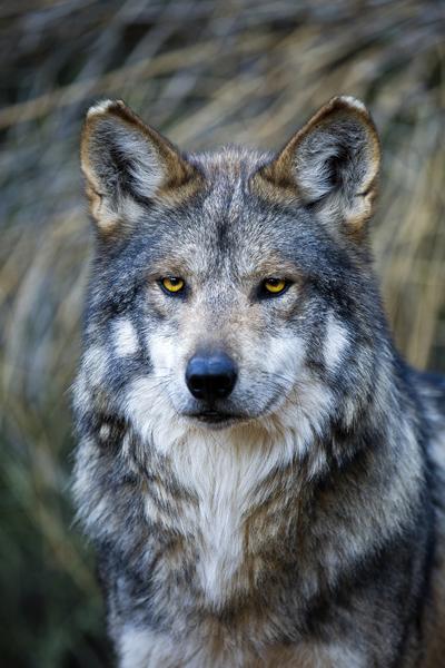 M943 Himuti Mexican Gray Wolf Southwest Wildlife Scottsdale Arizona photo by Robin Silver