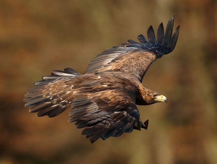 Endangered Species Spotlight, Two For One: Bald Eagle and Golden Eagle