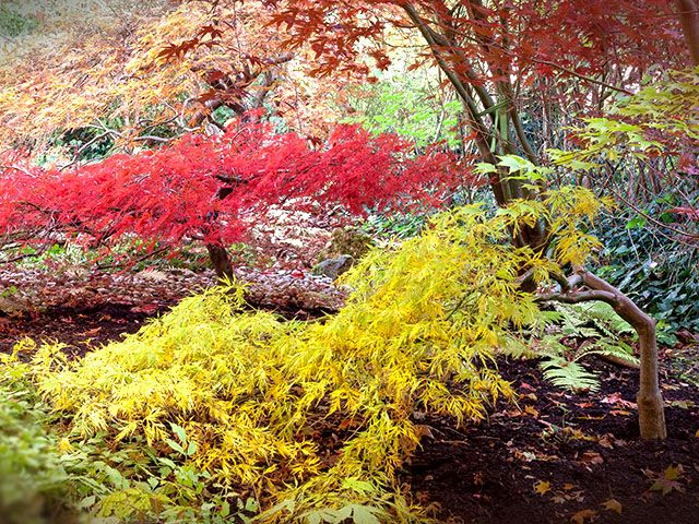 Japanese Maple Walk and Talk - Apr. 11th