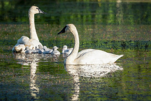 Aspen Lakes Swan pair, a partnership with TTSS, hatches 8 cygnets!