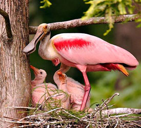 Image result for wild spoonbill gifs