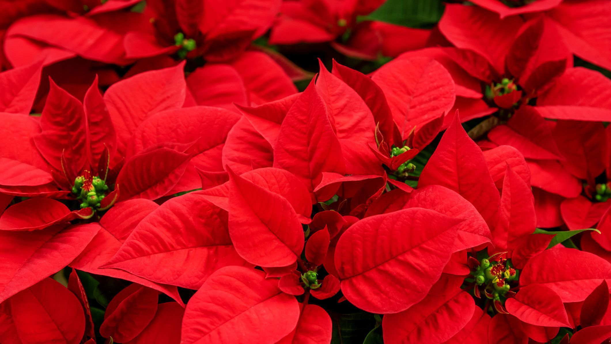 Virtual Poinsettias
