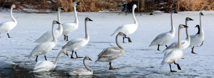 The Swan Library of The Trumpeter Swan Society has swan links, range maps, publications and papers, and videos
