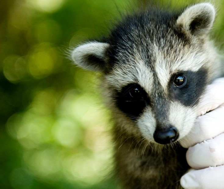 Raccoon - $50 Adoption Kit