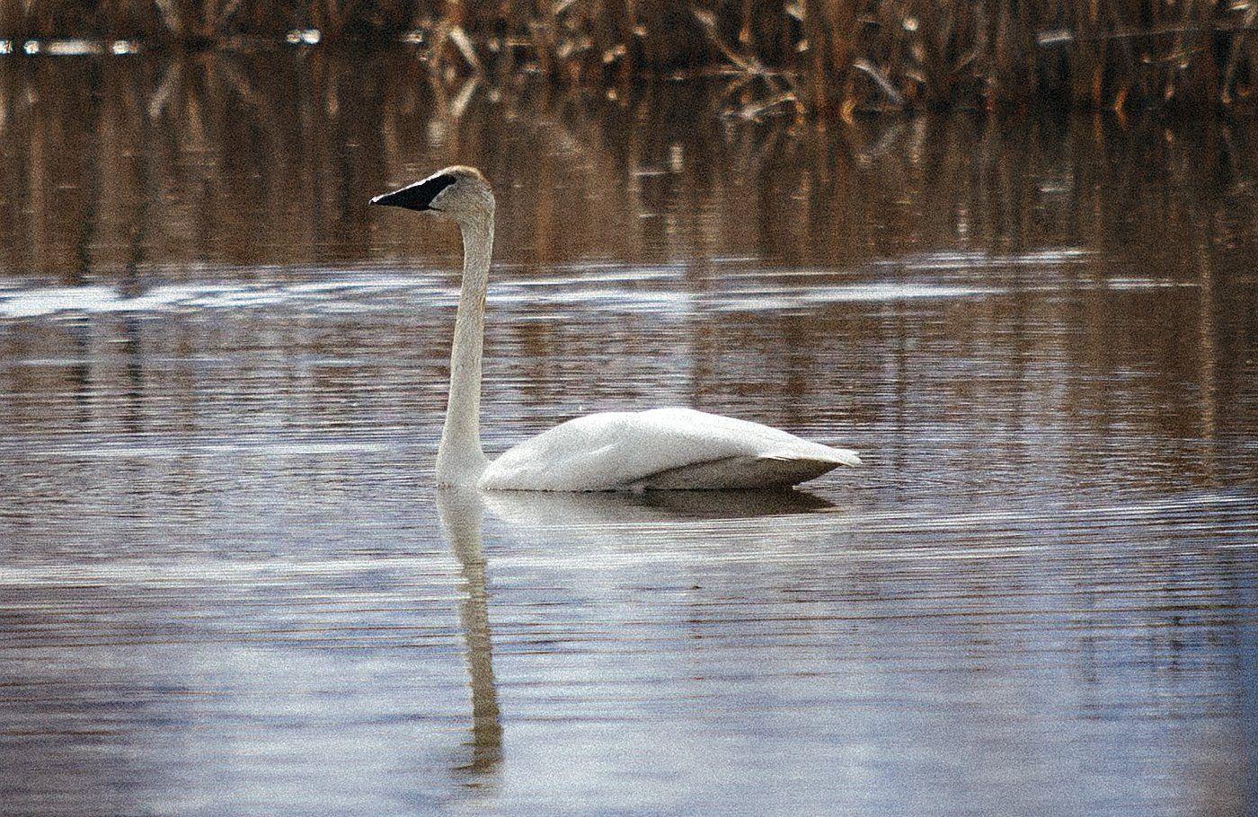 Trumpeter Swan visits Montana's Teller Wildlife Refuge