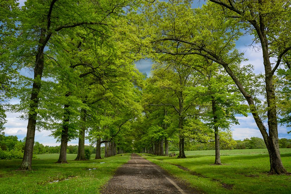 Pin Oak Allee by Gerald Liddelow
