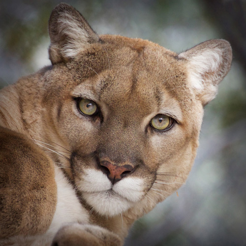 Tocho Mountain Lion Photo by Carol A. Urban