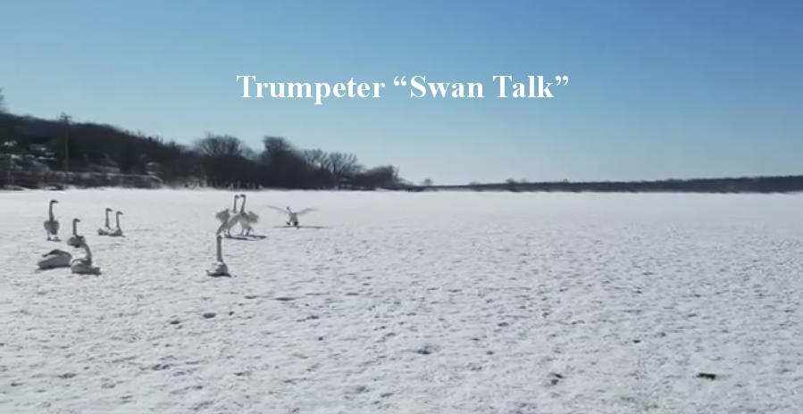 """Trumpeter """"Swan Talk"""" video"""