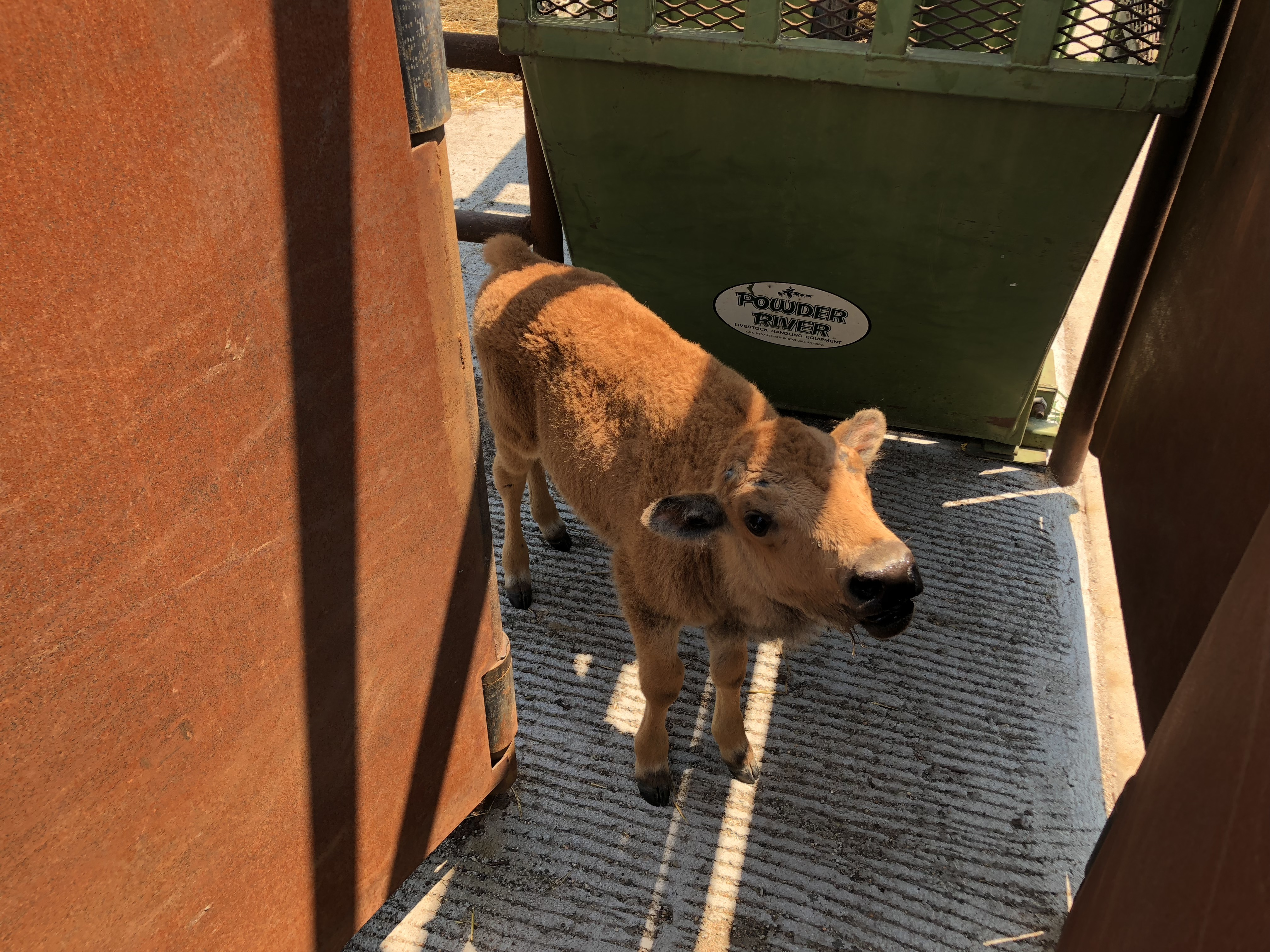 Baby Bison Gets a Chance at Survival